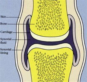 Schematic of a joint showing synovial fluid. Cracking joints.